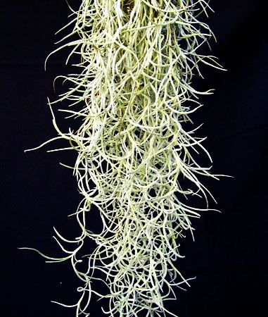tillandsia usneoides plante sans terre flore pinterest plantes plante exotique et exotique. Black Bedroom Furniture Sets. Home Design Ideas