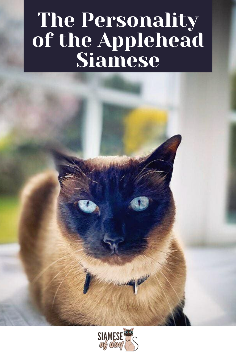 Applehead Siamese Cats What Are They? Siameseofday in