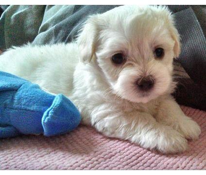 Cutest Designer Puppies Is A Female Maltese Puppy In