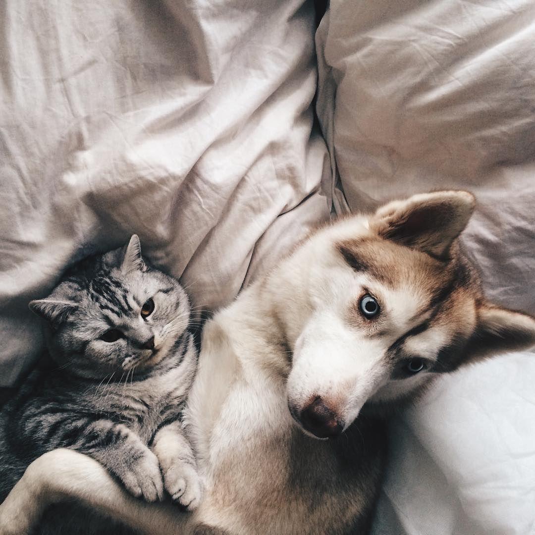 Картинки кошек и хаски