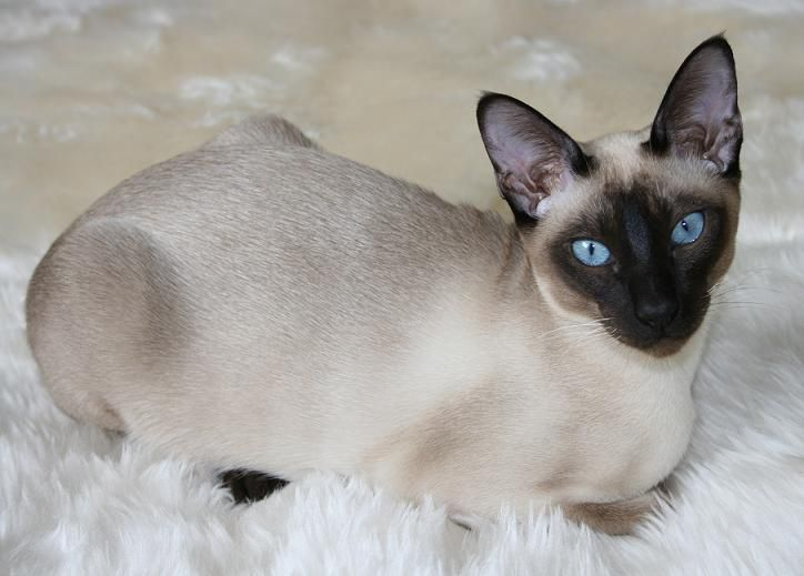 15 Most Cutest Cat Breeds In The World Will Make You Feel Good Wow Cats Tonkinese Cat Siamese Cat Breeders Cute Cat Breeds