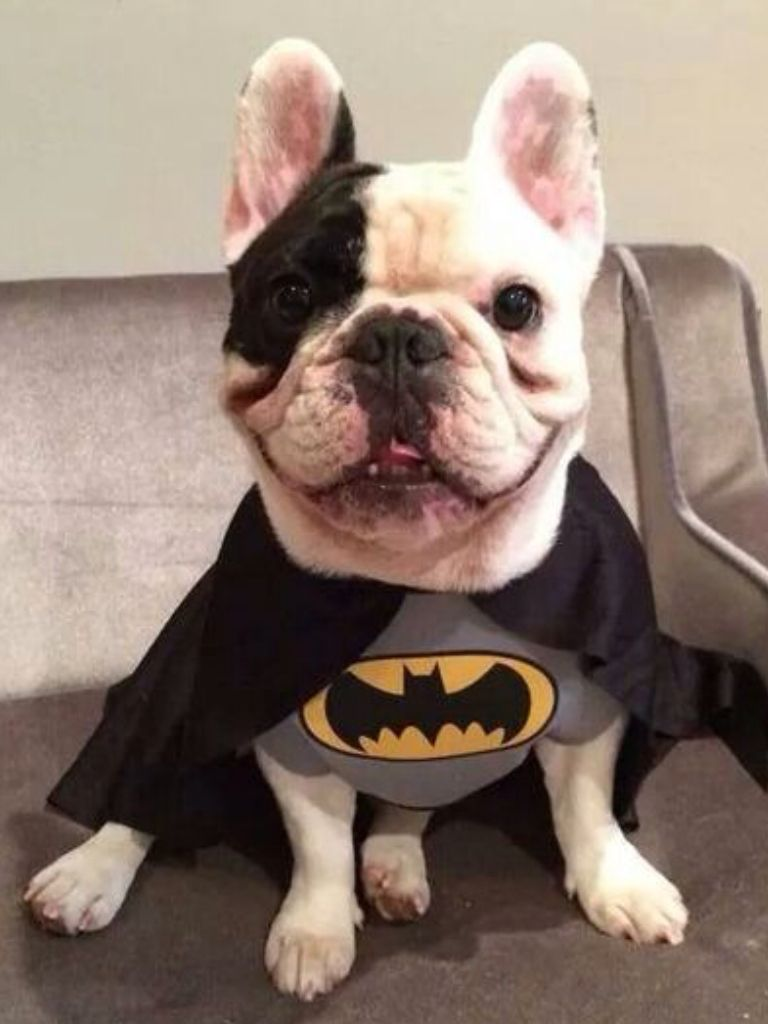 Manny The French Bulldog In A Batman Costume Puppy Halloween