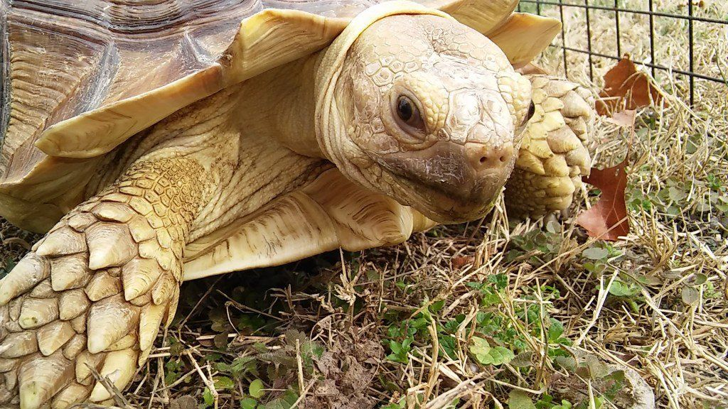 How to Care for Your Sulcata Tortoise Sulcata tortoise