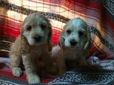 Litter Of 2 Cocker Spaniel Puppies For Sale In Bedford Pa Adn 21855 On Puppyfinder Com Gende Cocker Spaniel Puppies Puppies For Sale Spaniel Puppies For Sale