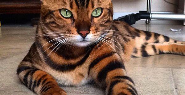 Maailman Kaunein Kissa Turkki Kuin Taideteos Stara Bengal Cat Beautiful Cats Pretty Cats