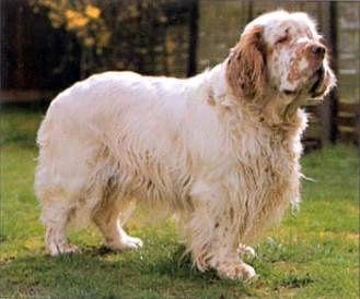 Clumber Spanel Seznam Cz Clumber Spaniel Akc Dog Breeds Dog