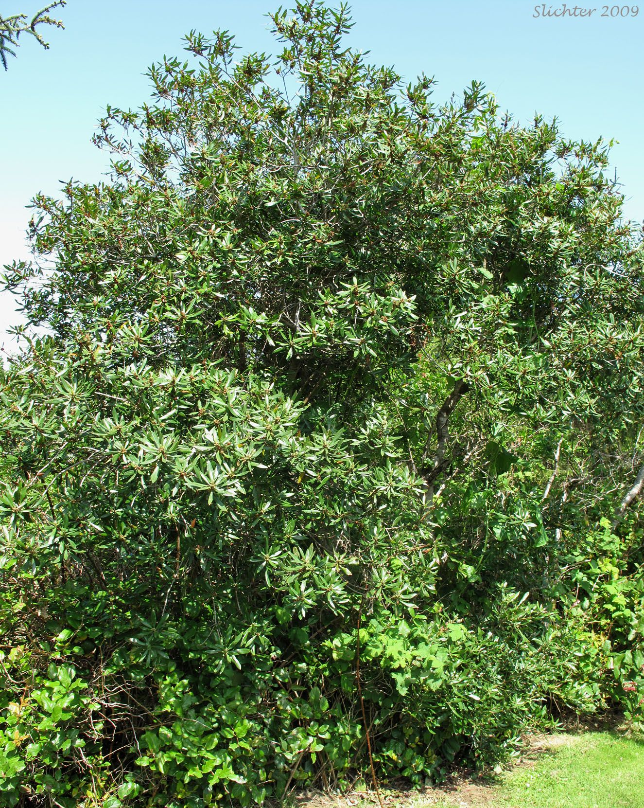 pacific bayberry wax myrtle