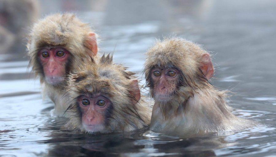 monkeys that make snowballs - Google Search