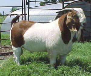 American Boer Goat Caprinos Boer Ovelhas Ovinos