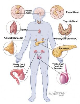 Pathology of endocrine system ap psychology review brain structure also anatomy  physiology rh pinterest