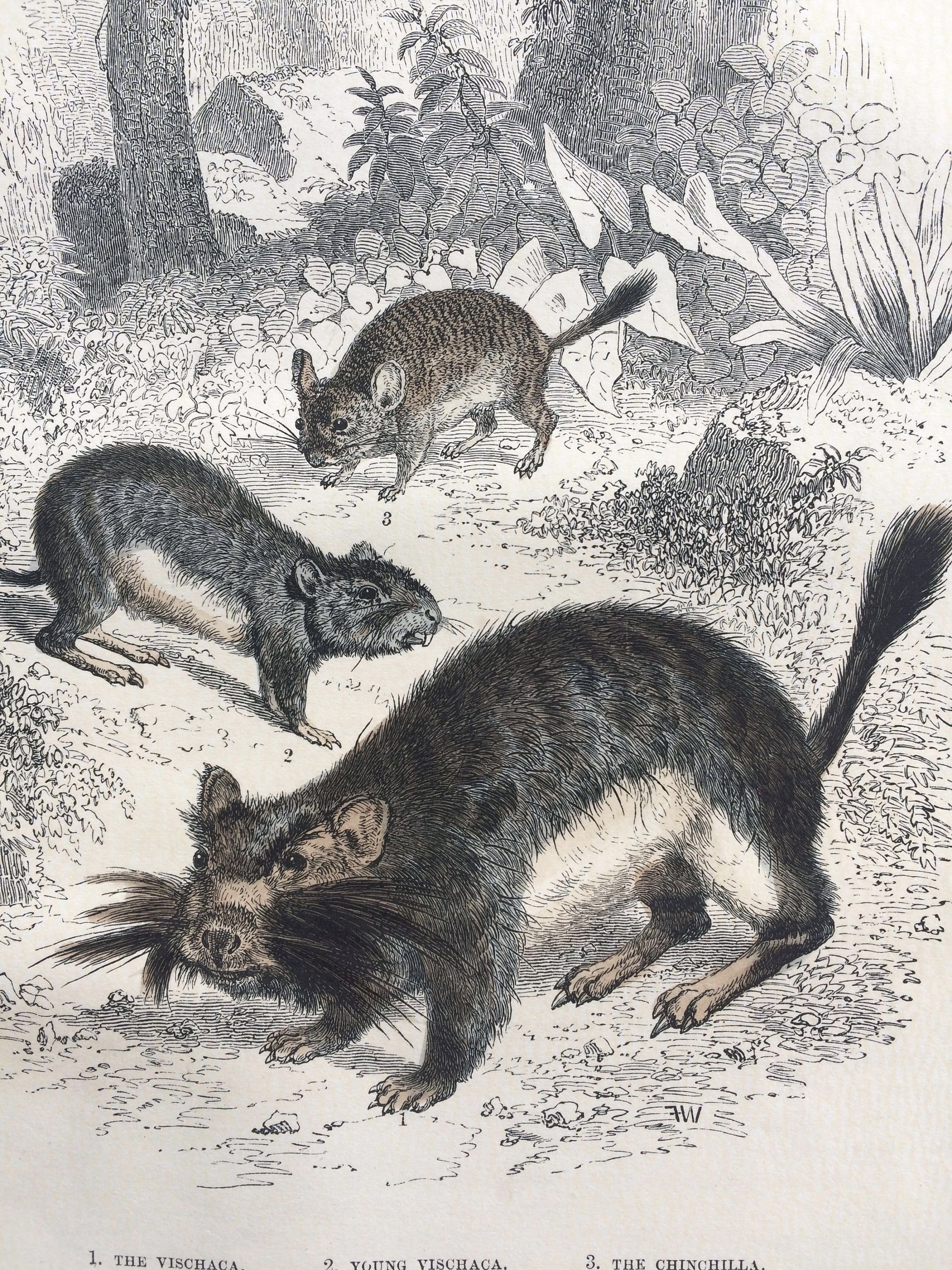 1865 vischaca and chinchilla original antique hand coloured 1865 vischaca and chinchilla original antique hand coloured engraving wildlife wall decor amipublicfo Image collections