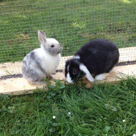 Farbenzwerg und Zwergwidder ️ Bunnies /Kaninchen ️