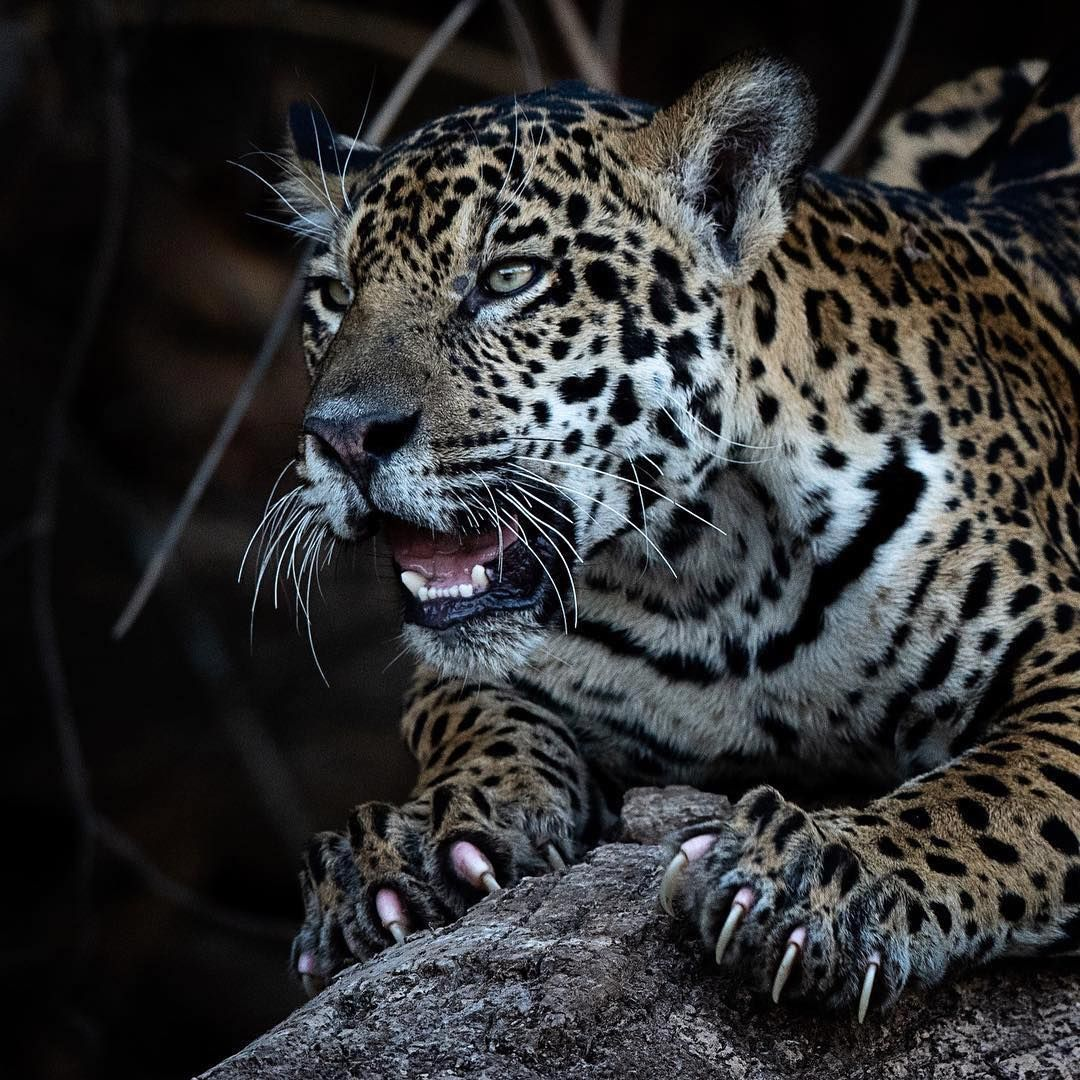 Ranking Nature Good Nature Worldwide Birds Nature Shots Naturealaska Natureaddicts Photographer Naturephotography T Jaguar Animal Animals Wild Animals
