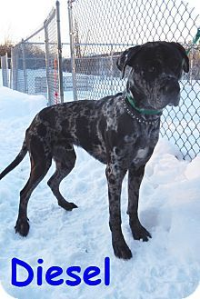 Erie Pa Great Dane Mix Meet Diesel A Dog For Adoption Http