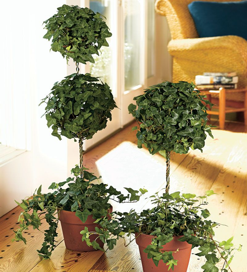 Double Ivy Topiary Topiaries Topiary, Garden bulbs, Plants