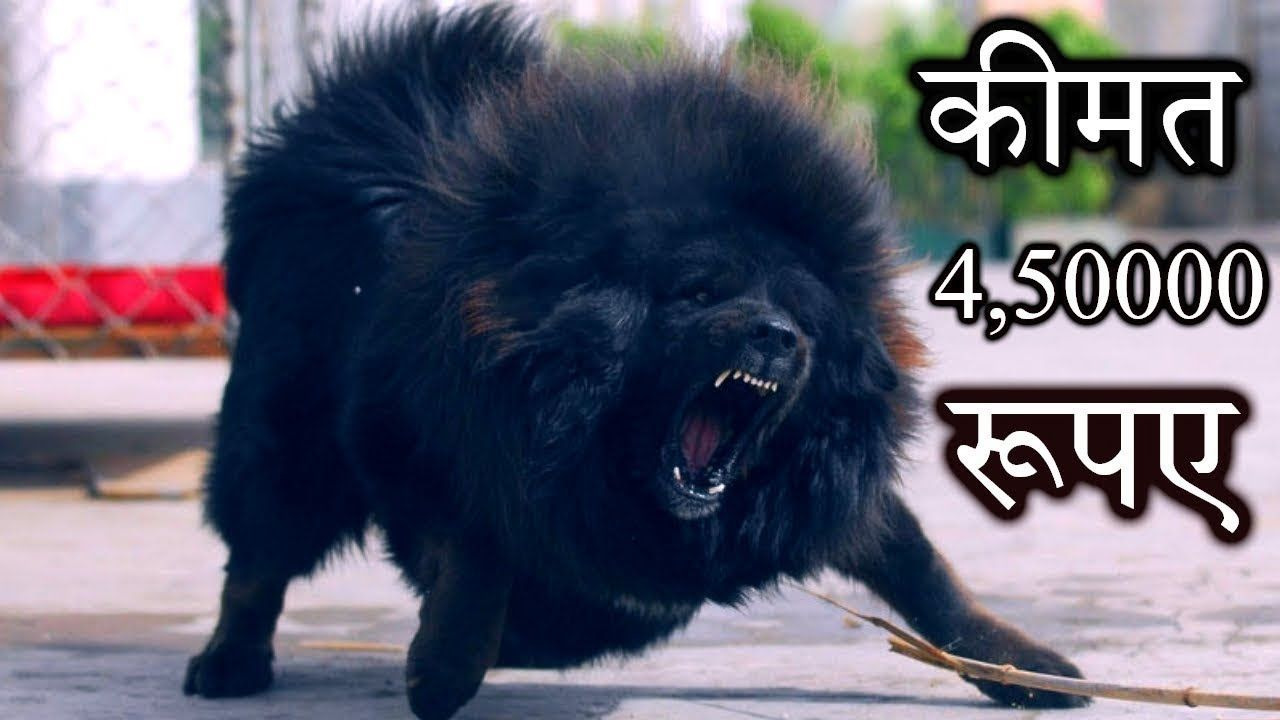 CHOW CHOW Famous Breed Most expensive in Punjab 2019 | https