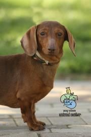 Cinnamon Is An 8 Year Old Dachshund Standard Smooth Haired Mix