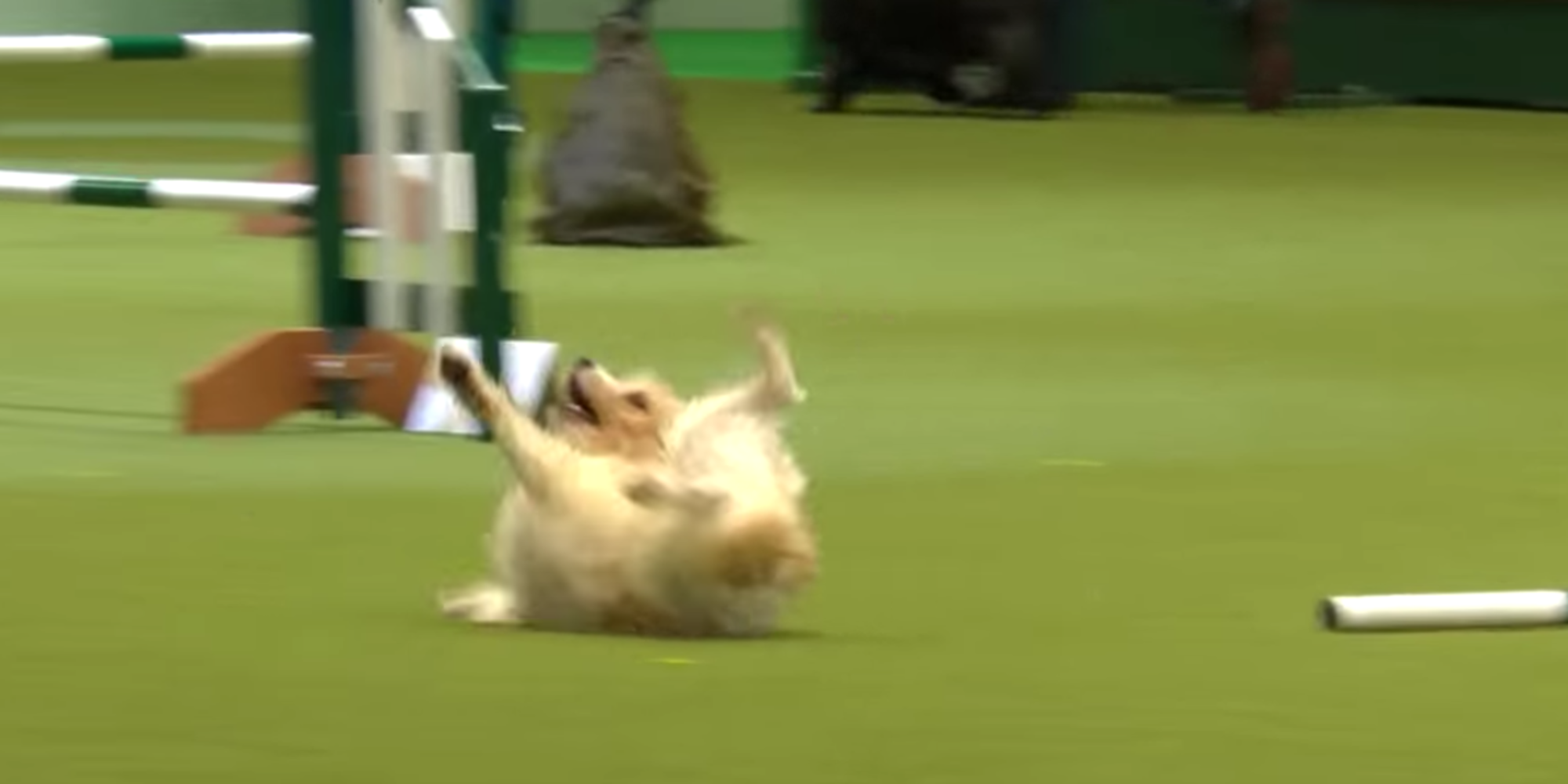 Tumbling jack russell wins hearts after hilariously bad dog show run