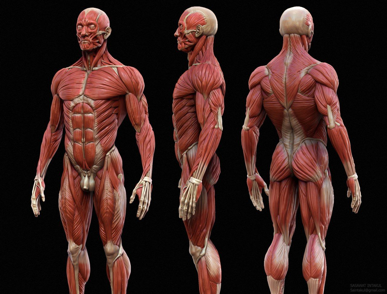 qrGLCPStpio.jpg (1280×970) | reference | Pinterest | Anatomy, Human ...