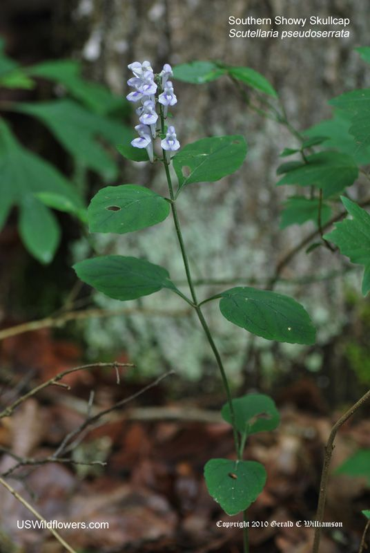 Scutellaria pseudoserrata