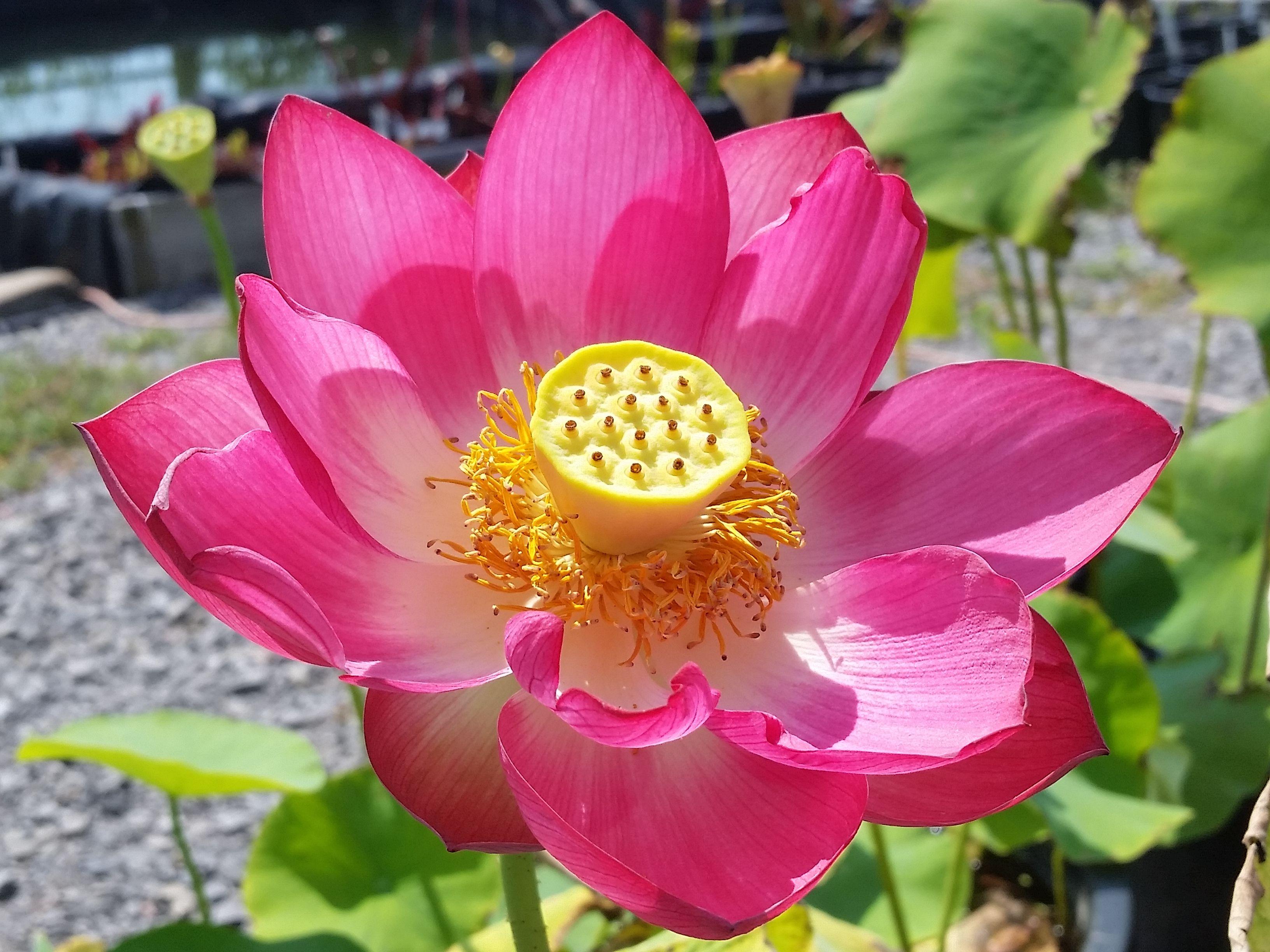 Bright Sky Lotus Bergenwatergardens Chinese Lotus Tubers