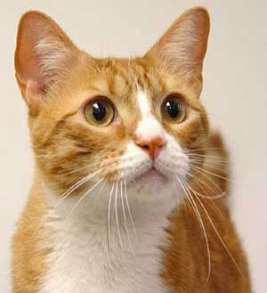 Orange Tabby Cat With Images American Shorthair Cat Tabby