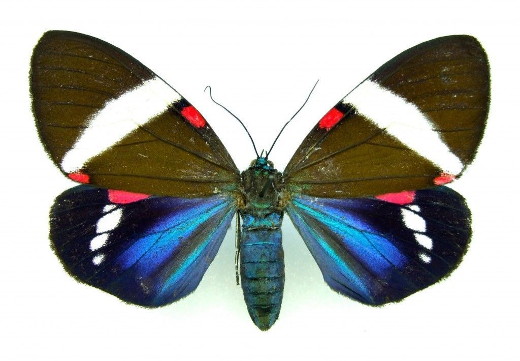 tiger moth arctiidae Hypocrita drucei SET x1 A1- TS Female *Stunning* insect bug   eBay