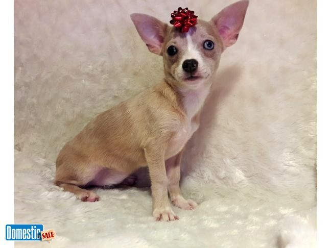 Gorgeous Chihuahua Female With One Blue One Brown Eye Merle