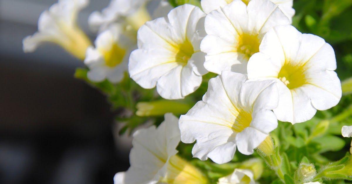 Gambar Bunga Melati Hd Di 2020 Bunga Wallpaper Bunga