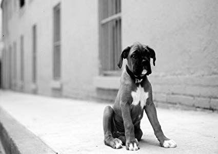 Boxer (1) Amazing Poster mit Hund Puppy Lovely