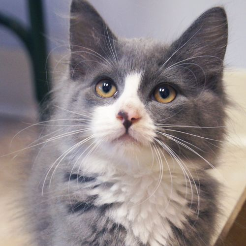 Adopted Blaze Is A 3 Month Old Neutered Male Gray And White Domestic Long Hair Kitten Blaze Is A Handsome Fella Grey And White Cat I Love Cats Cute Animals