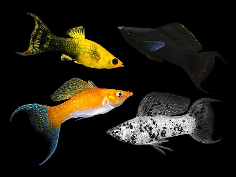 Assorted Lyretail Mollies Place Your Order At Https Fishplace Eu Product Assorted Lyret In 2020 Fresh Water Fish Tank Tropical Freshwater Fish Tropical Fish Aquarium