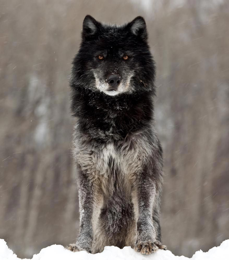 Black Wolf Pack This Wolf Was Photographed Near West Yellowstone In Winter The Wolf Black Wolf Beautiful Wolves Animals Wild