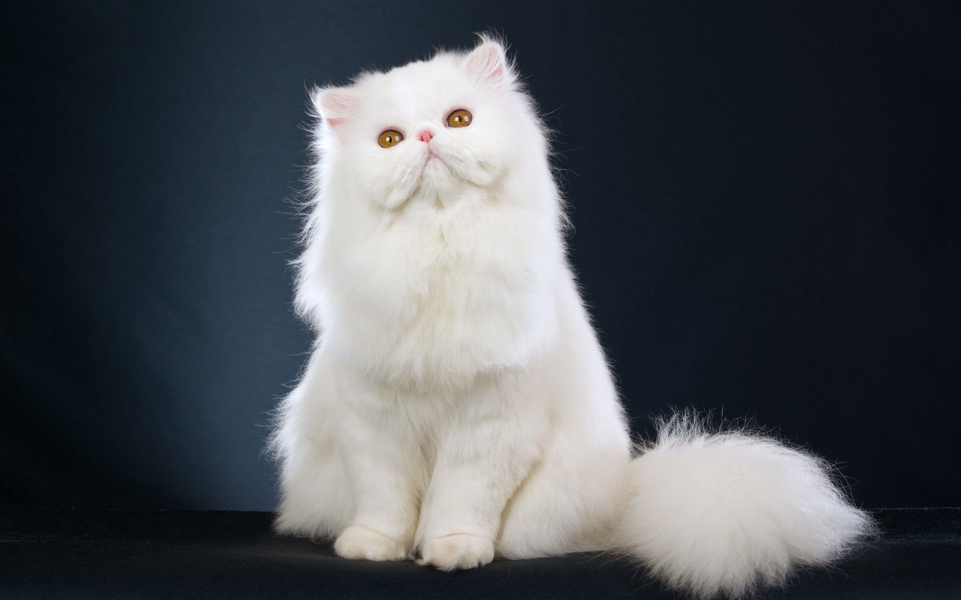 Compare Prices On Persian Cat Kitten Online Shopping Buy Low