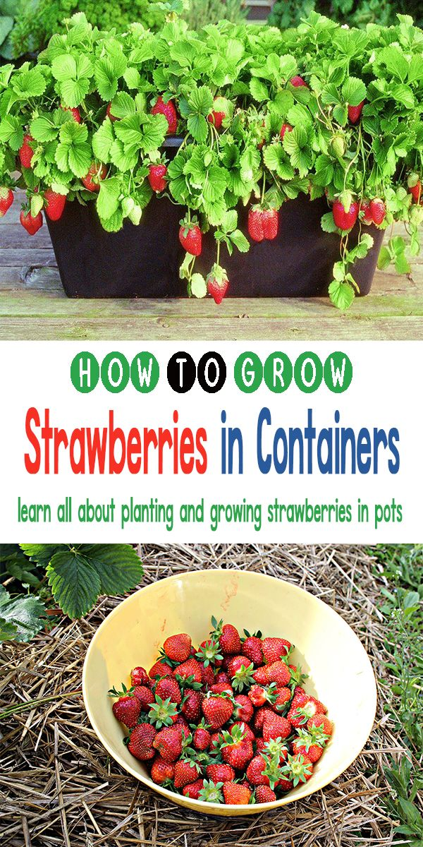 Growing Strawberries In Containers Strawberries In Containers