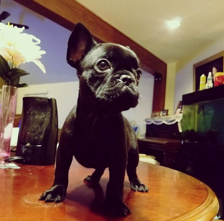 French Bulldog Puppy For Sale In Los Angeles Ca Adn 22139 On