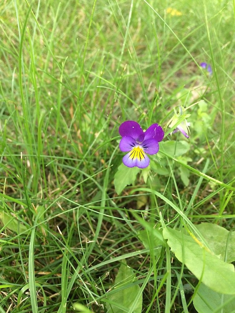 Johnny jump up flower by silverdragon johnny jump up