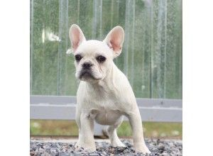 French Bulldog For Sale Maine French Bulldog Pinterest