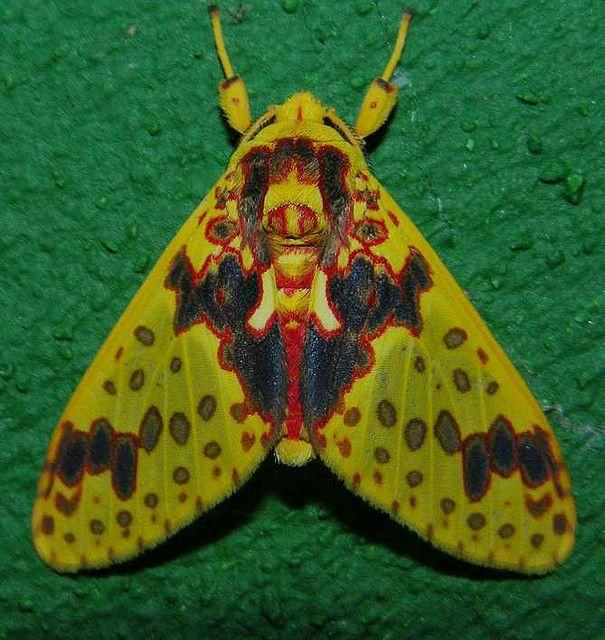 Amaxia osmophora (Arctiidae), southern Venezuela by artour_a, via Flickr