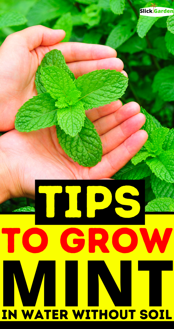 Tips To Grow Mint In Water Without Soil In 2020 Growing Mint Growing Herbs At Home Growing Mint Indoors