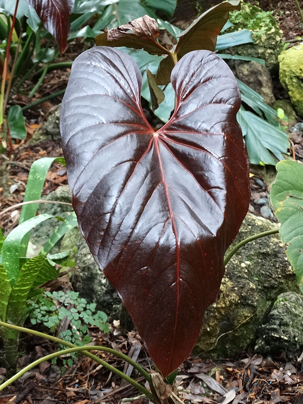 All Anthurium The Philodendron Guru Plants Anthurium Anthurium Plant
