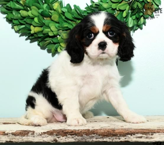 Ava Cavalier King Charles Spaniel Puppy for Sale in