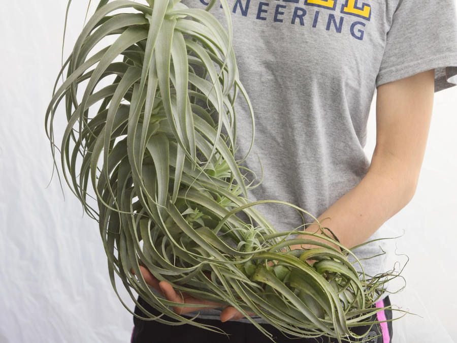 Large Air Plant Straminea Tall White Hanging Air Plant Rare Air Plants Large Air Plants Hanging Air Plants