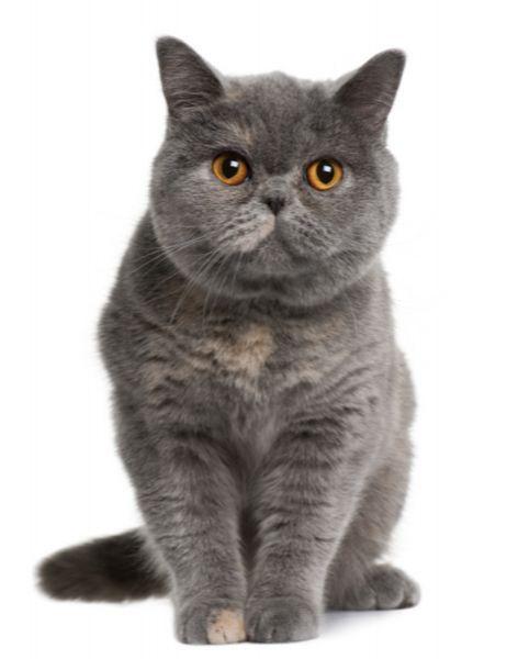 British Short Hair Smoke Colored Caats British Shorthair The National Cat Of The British Isles The British Kocka