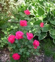 Roses/Winnipeg Parks   Pinelane Nursery Smaller shrub with matte green foliage and pink fragrant showy blossoms that bloom in June and July.