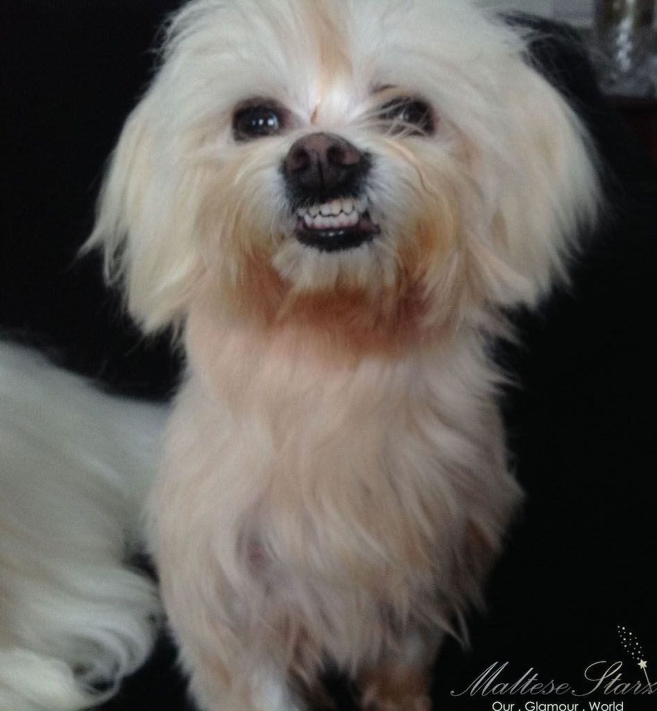 Porkchop Maltese Dogs Dogs Dogs Puppies