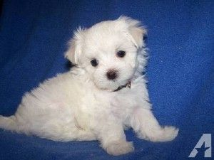 Maltipoo Puppies For Sale In Louisville Ky