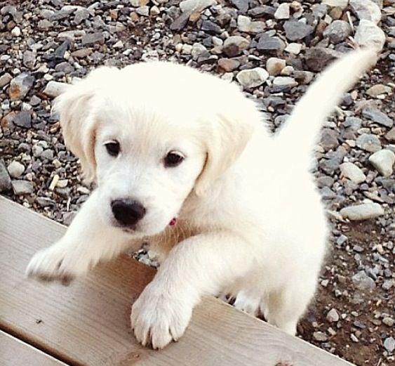 Blonde Lab Animals Puppies Cute Funny Animals