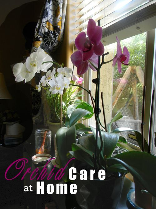 the Roses: Phalaenopsis Orchid Care at Home