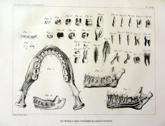 1831 Vintage Dental Anatomy Of Human Teeth By Lyranebulaprints